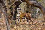 Female Bengal Tiger (Laxmi) (Panthera tigris tigris) sniffing scent on tree trunk while patrolling territorial boundaries.