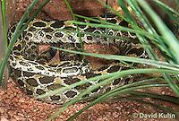 0512-1102  Mexican Lancehead Rattlesnake, Crotalus polystictus  © David Kuhn/Dwight Kuhn Photography