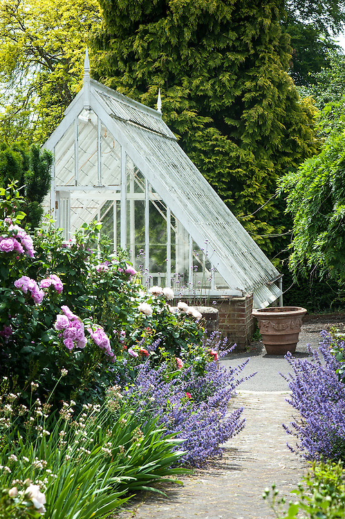 Greenhouse, the rose garden at Borde Hill, Sussex, late June. Plants include: Rosa The Countryman and Nepeta 'Six Hills Giant'.
