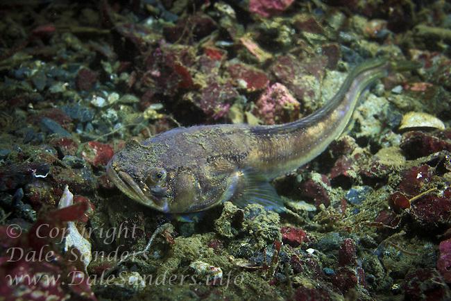 Plainfin Midshipman( Porichthys notatus ) underwater in the Strait of Georgia, British Columbia , Canada.