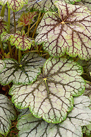 Ornamental foliage of Heuchera Venus, aka Heucherella Venus