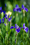 Bright blue irises