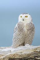 Snowy Owl (Bubo scandiacus) perched on coastal driftwood. Ocean County, Washington. March.