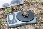 Weighing Diamondback Terrapin Turtle