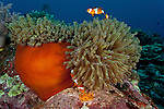 True clownfish (Amphiprion percula) in the reef in its anemone