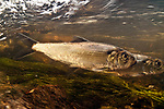 Single Alewife herring swimming right in Weymouth Back River shallow riffle area heading towards Whitman's Pond to spawn in spring time