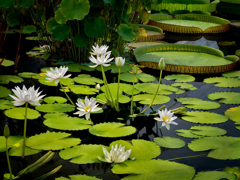 Waterlily in pond. Oregon