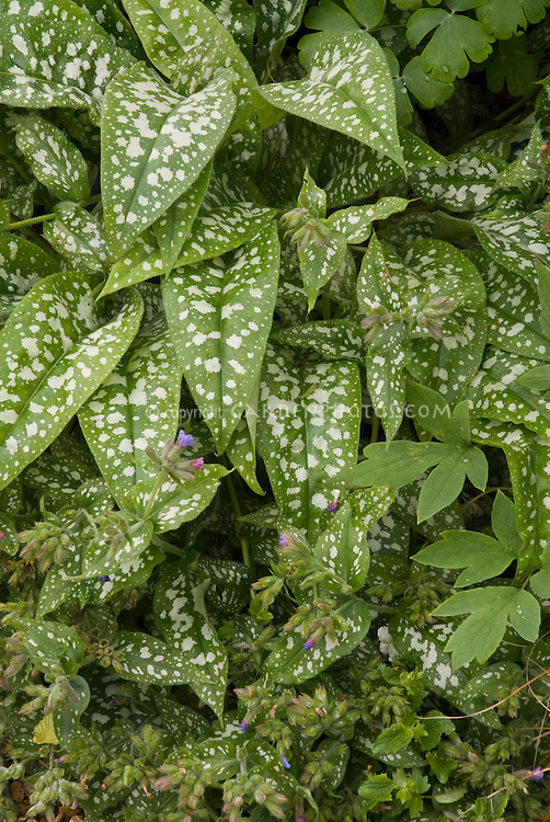Spotted leaves of Pulmonaria Trevi Fountain, with flowers