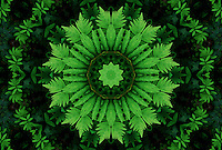 Mandala created from a digitally enhanced photograph of green fern leaves. Prints and greeting cards are available. You can also buy a license to use this image for a variety publications and other usage.