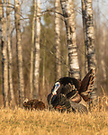 Eastern wild Turkey displaying for a hen.