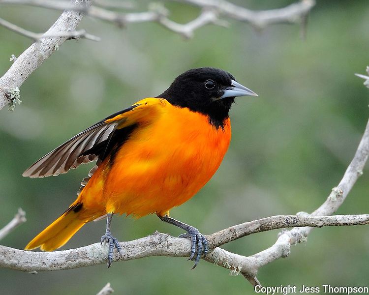 Baltimore Oriole, South Padre Island, TX