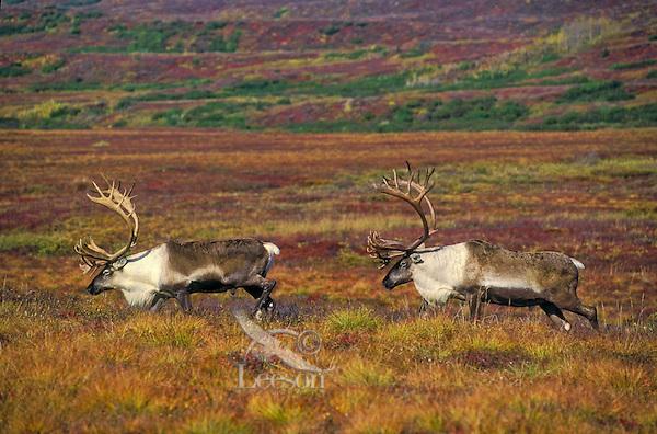 Barren-ground Caribou bulls (Rangifer tarandus granti) in early September amid fall color of tundra in Denali National Park, Alaska, U.S.A.