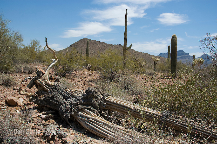 Fallen and decaying saguaro, Carnegiea gigantea, exposing the riblike structure of the trunk.  Organ Pipe Cactus National Monument, Arizona.