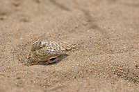 Colorado Desert fringe-toed lizard, Uma notata, buried in sand.  Algodones dunes, Imperial County, California