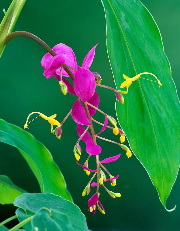 The Dancing Lady (gloeba alrosanquines). Kula Botanical Garden. Maui, Hawaii.