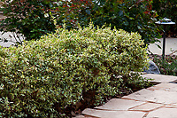 Myrtus communis 'Compacta Variegata' (Variegated Compact Myrtle) along pathway in Southern California demonstration garden by Western Municipal Water District, Riverside California