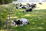 Foto: VidiPhoto<br /> <br /> RANDWIJK – Aan de Hemmensestraat in Randwijk (Betuwe) zoeken melkkoeien maandag verkoeling in de schaduw van bomen langs het weiland. De temperaturen liepen maandag in het binnenland op tot ruim boven de 25 graden. Omdat het de komende dagen nog warmer wordt, laten veel melkveehouders dan hun koeien 's nacht naar buiten. Boeren die hun koeien buiten laten lopen krijgen een weidepremie en hebben minder voerkosten. Dat betekent een extra rendement van bijna 400 euro per hectare. Vorig jaar stuurde een recordaantal melkveehouders (83,7 procent) hun koeien de wei in.