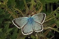 Silbergrüner Bläuling, Silberbläuling, Silber-Bläuling, Insekt des Jahres 2015, Polyommatus coridon, Lysandra coridon, Chalkhill Blue, Lycaenidae, Bläulinge