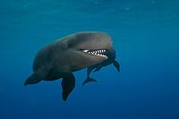 false killer whale, Pseudorca crassidens (c,dc)