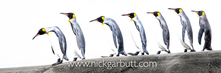 A group of king penguins (Aptenodytes patagonicus) walking along a sand bar. St Andrews Bay, South Georgia, South Atlantic.