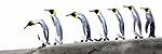 A group of king penguins (Aptenodytes patagonicus) walking along a sand bar. St Andrews Bay, South Georgia, South Atlantic.