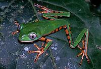 Pereca, Phyllomedusa tomopterna. EspÈcie de sapo encontrado na AmazÙnia.<br /> Brasil<br /> ©Foto: Marcelo Gordo<br /> Amazonas<br /> Foto Marcelo Gordo