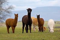 Alpacas in a field, Newby, Penrith, Cumbria.