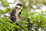 Red-tail Monkey (Cercopithecus ascanius) feeding on flowers in tree, Kibale National Park, western Uganda