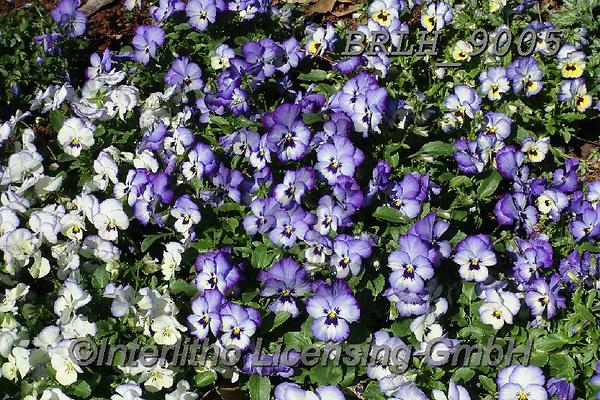 Luiz, FLOWERS, BLUMEN, FLORES, photos+++++,BRLH9005,#f#, EVERYDAY ,allover