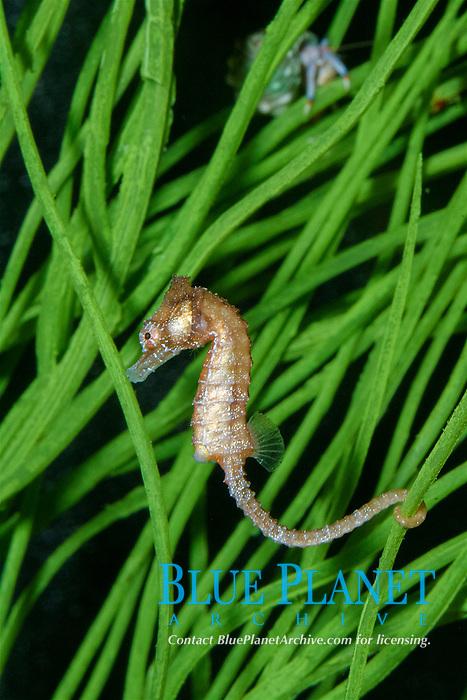 dwarf seahorse (Hippocampus zosterae) (c)