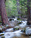 A small tributary of the Merced River flows through a forest of dogwood and douglas fir in Yosemite National Park.