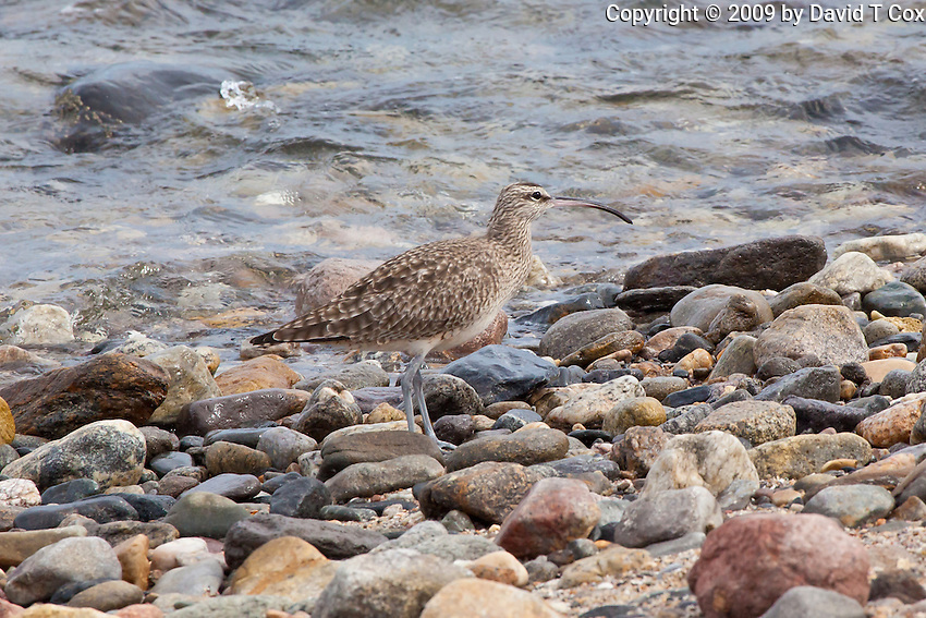 Whimbrel, Bajia Los Angeles, Baja, Mexico