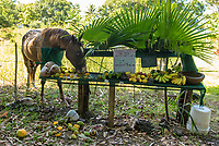 Fruit Stand: This hungry horse helps itself to the buffet of fruit at a fruit stand owned by a friend in rural East Maui.