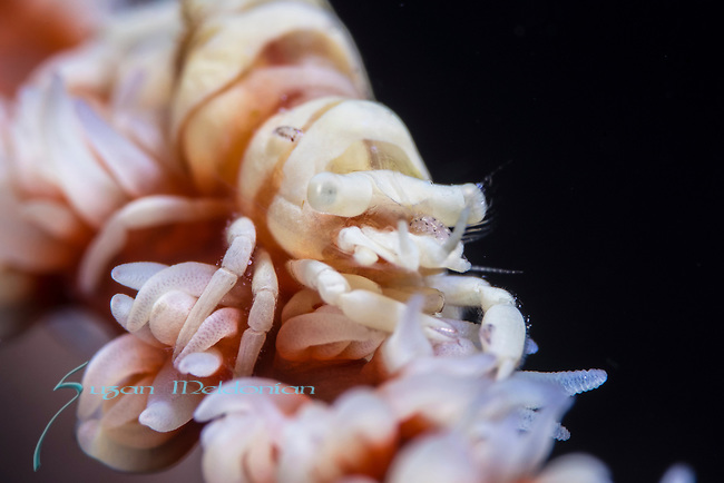 Ambon; Anker's Whip Coral Shrimp; with amphipod, Pontonides ankeri; macro and supermacro images; marine life; underwater creatures