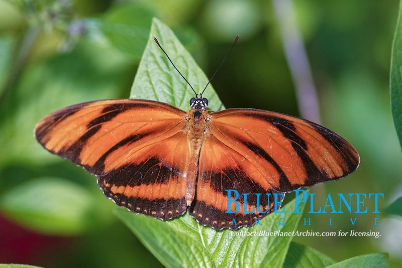 Banded Orange Heliconian (Dryadula phaetusa), adult at rest, Florida, USA, North America
