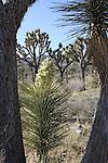 Joshua Tree National Park, Postcard Edit