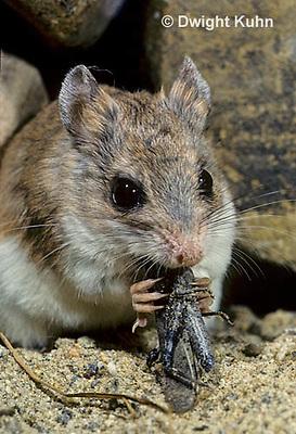 MU32-009z   Silky Pocket Mouse - eating grasshopper - Perognathus flavus