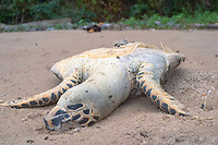 Dead Hawksbill turtle, Eretmochelys imbricata, on the beach, probably killed as a product of bycatch and drifted in, Mergui archipelago, Andaman sea, Indian Ocean, Burma / Myanmar, Asia