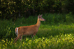White-tailed doe flaring her tail as she watches something in the distance.