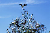 Pantanal, Mato Grosso State, Brazil; large birds with white bodies and large beaks in a tree.