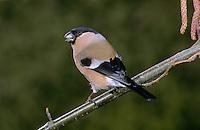 Gimpel, Dompfaff, Weibchen, Pyrrhula pyrrhula, Eurasian bullfinch