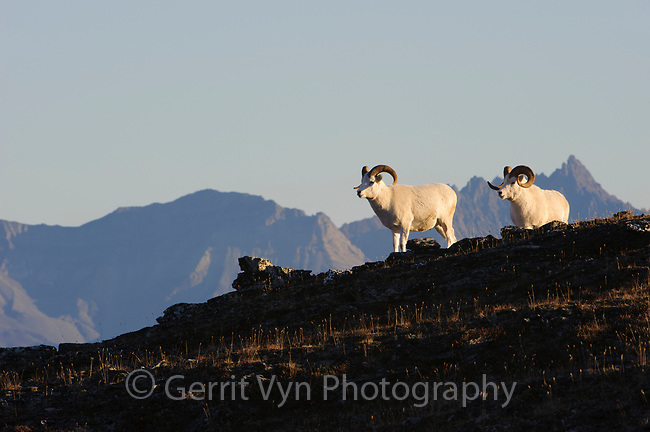 Dall Sheep (Ovis dalli) rams and Alaska Range. Denali National Park, Alaska. September.