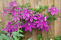 Clematis Barbara Dibley climbing vine with purple flowers against wooden fence tied up on wire trellis