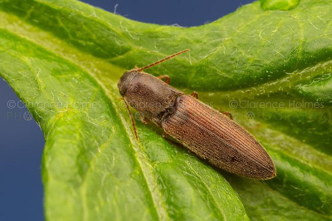 Click Beetle (Agriotes oblongicollis)