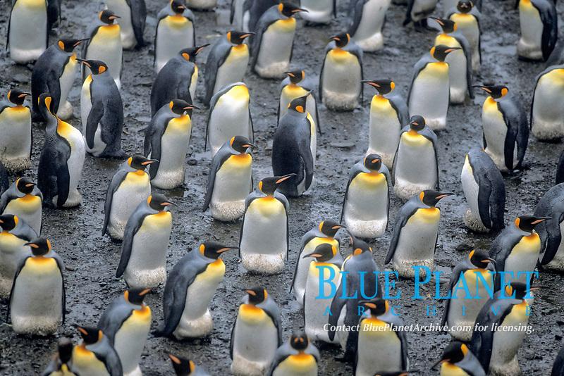 king penguins, Aptenodytes patagonicus, South Georgia Island, U.K., S. Atlantic