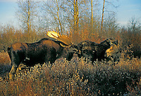 Bull & Cow MOOSE in rutting season. Bull sniffing for odoriferous clues indicates sexual excitement. Autumn. Rocky Mountains. Grand Teton National Park, Wyoming. U.S.A.  (Alces alces).