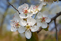 Stock Photos of close up of white  blossom on a  tree. Funky stock photos library