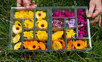 BNPS.co.uk (01202) 558833<br /> Pic: ZacharyCulpin/BNPS<br /> <br /> Looks good enough to eat...<br /> <br /> Hundreds of species of edible flowers grow in a field, waiting to be shipped off to restaurants and TV programmes like Bake Off and Masterchef.<br /> <br /> Greens of Devon is a business near Exeter where Janice James, 54, grows hundreds of edible flowers in a half acre field.<br /> <br /> She has supplied her delicacies to chefs, bartenders and bakers across the country since 2013 and has even supplied TV programmes such as Bake Off and Masterchef.