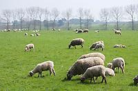 Europe/France/Bretagne/56/Morbihan/Belle-Ile:   Agneaux de Belle-Ile  à la ferme de la famille Jouan