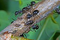 Glänzendschwarze Holzameise, Schwarze Holzameise, gemeinsam mit Blattläusen, Symbiose, Holz-Ameise, Ameise, Kartonnestameise, Lasius fuliginosus, Dendrolasius fuliginosus, jet ant, shining jet black ant